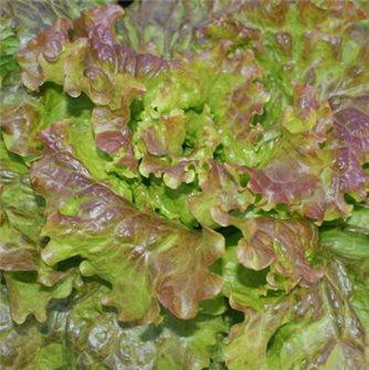 Saint Antoine lettuce seeds